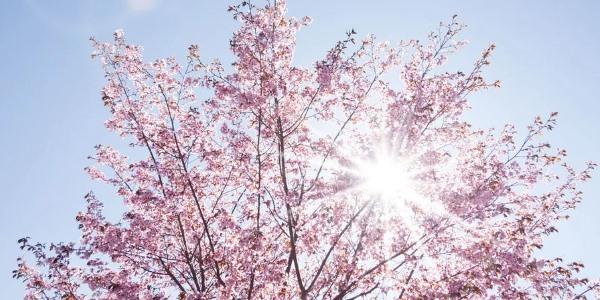 Kdo oslaví svátek polibkem pod rozkvetlou třešní?